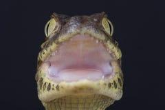 caimano Vasto-snouted/caiman latirostris fotografia stock libera da diritti