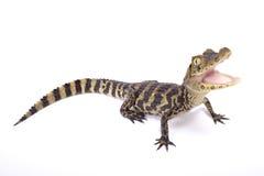 caimano Vasto-snouted, caiman latirostris fotografie stock