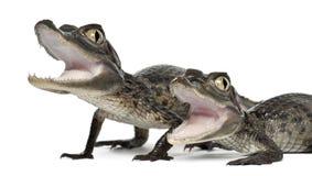 Caimans con gafas, crocodilus del Caiman Imagen de archivo