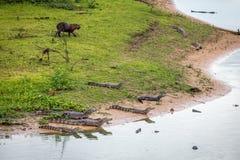 Caimans i Pantanalen Brasilien Arkivbilder