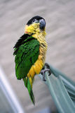 Caique Stock Photography