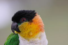 Caique, Black-headed(Pionites melanocephala) Stock Photo