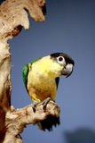 Caique on a branch Stock Image