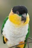 Caique papegaai met zwarte kop Royalty-vrije Stock Afbeeldingen