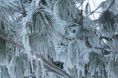 Cair congelado dos ramos de pinheiro Fotos de Stock Royalty Free