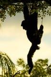 Macaco que pendura da árvore fotografia de stock