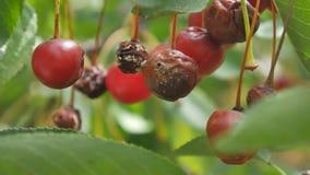 Cair maduro podre do fruto da cereja no ramo de árvore, cultura danificada de doenças da exploração agrícola folha verde filme