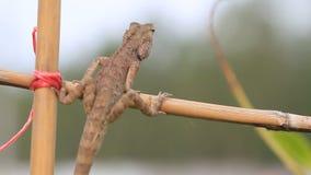 Cair tailandês do lagarto no ramo filme