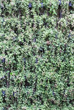 Cair verde das plantas decorativas na parede Imagens de Stock Royalty Free