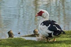 Cairina moschata duck at lake. Cairina moschata duck rest at lake Royalty Free Stock Images