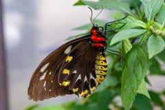 Cairn che birdwing farfalla femminile sulle foglie verdi fotografia stock libera da diritti