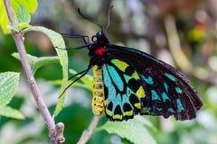 Cairn che birdwing farfalla maschio sulle foglie verdi fotografia stock