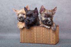Cairn-chien terrier Image stock