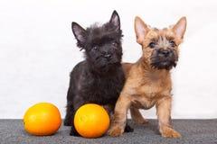 Cairn-chien terrier Photographie stock libre de droits