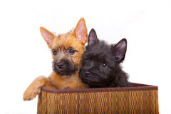 Cairn-chien terrier Images stock
