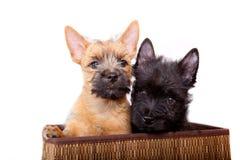 Cairn-chien terrier Image libre de droits