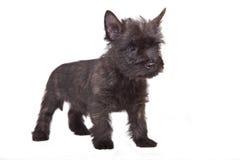 Cairn-chien terrier Images libres de droits