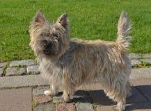 Cairn Terrier Images libres de droits