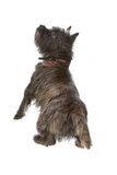 Cairn Terrier. Isolated on white background stock image