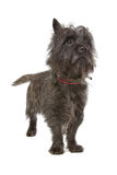 Cairn Terrier. Isolated on white background royalty free stock photo