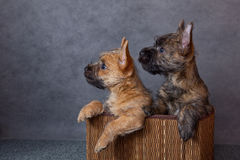Cairn-terrier Royalty Free Stock Photo