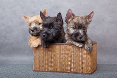 Cairn-terrier Stock Image