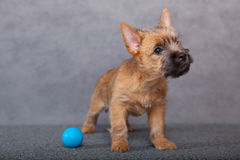 Cairn-terrier Stock Photography