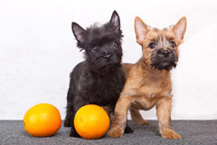 Cairn-terrier Royalty Free Stock Photography