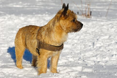 Cairn Terrier Stock Images