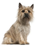 Cairn Terrier, 18 months old, sitting Royalty Free Stock Image