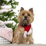 Cairn Terrier, 2 years old, sitting Royalty Free Stock Image