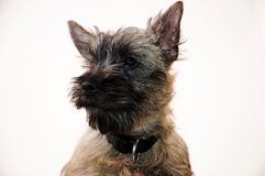 Cairn terrier Stock Photography