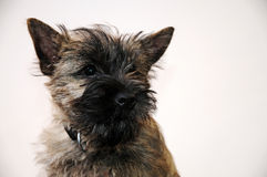 Cairn terrier Stock Photos
