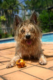 Cairn Terrier. Wet fur, lying on patio beside swimming pool with tongue hanging out, with rotten lemon she retrieved from water, blue sky and palm trees in Stock Images