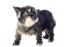 Cairn terrier. Senior cairn terrier in front of a white background royalty free stock photography