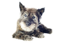 Cairn terrier. Senior cairn terrier, 14 years old, in front of a white background stock photos