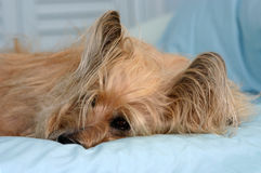 Cairn Terrier. Lying on bed with blue sheets, pale blue background Royalty Free Stock Photography