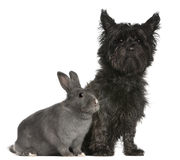 Cairn Terrier, 4 years old, and a rabbit Royalty Free Stock Photo