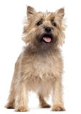 Cairn Terrier, 4 years old, standing Royalty Free Stock Photos