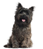 Cairn Terrier, 8 months old, sitting Stock Photo
