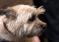 Cairn terrier. Dog of breed Cairn terrier royalty free stock photos