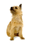 Cairn Terrier Dog. Stock Images