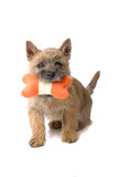 Cairn terrier dog. Playing with a toy, isolated on a white background royalty free stock photo