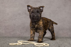 Cairn terrier dog Royalty Free Stock Images