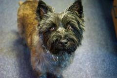 Cairn Terrier dog Calli royalty free stock photos
