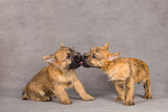 Cairn terrier dog couple Stock Images