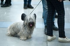 Cairn Terrier dog at the dog show, on a trip. Cairn Terrier dog with chic wool at the dog show, on a trip royalty free stock photography