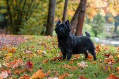 Cairn Terrier Dog on the grass. Autumn Background. Cairn Terrier Dog on the grass stock photo