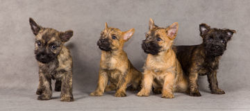 Cairn terrier dog group Royalty Free Stock Photos