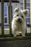 Cairn Terrier Dog looking out Stock Image